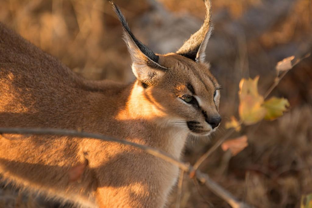 caracal peter mackenzie