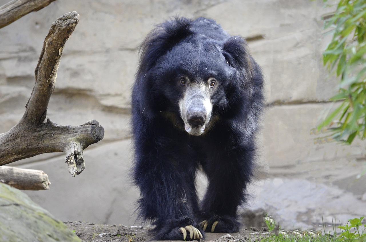 भालू से हो जाए सामना तो इन बातों का रखें ध्यान | Vindhya Bachao Blogs
