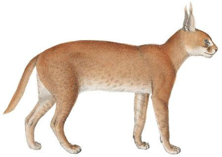 Caracal Public Domain Image