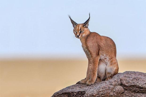 caracal livemint