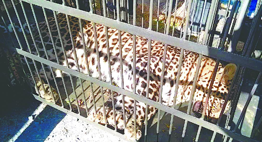 leopard lying unconscious in the cage 1482942321